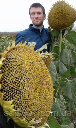 Семена подсолнечника Константин