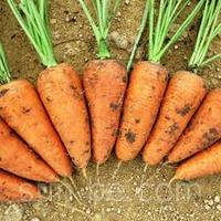 Семена моркови Шантане Ред Кор  1 г