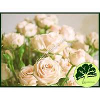 Роза спрей Creme Gracia
