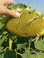 Семена подсолнечника ЛГ 5542 под Евролайтнинг. Санео. Устойчив к семи расам заразихи А-G. Лимагрейн / Импорт