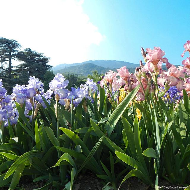 Купить многолетние цветы в интернет магазине