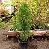 Туя західна -Thuja occidentalis  Smaragd