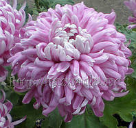 Хризантема крупноцветковая (ранняя, средняя и поздняя).