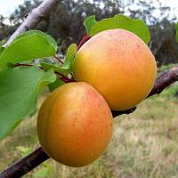 Саженцы абрикоса сорта Приусадебный