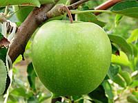 Саженцы яблони зимней - Гренни Смит