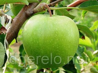 Саженцы яблони зимней - Гренни Смит ММ-106