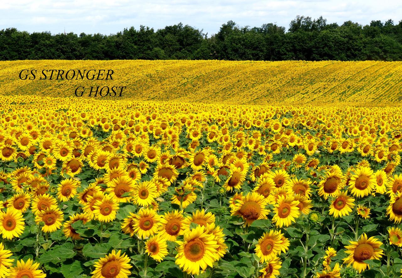 Семена подсолнуха GS STRONGER