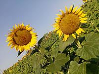"""Семена подсолнуха """"Сонячний настрій"""" (устойчив к Гранстар Про, Єкспресс)"""