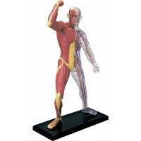 Объемная анатомическая модель Мускулы и скелет человека, 4D Master (26058)