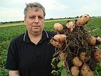 Картофель семенной ранний  Тирас