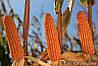 Семена кукурузы РОНАЛДИНИО