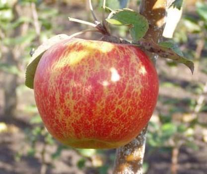 Саженцы яблони сорт Арива, зимняя, фото 2