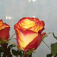 Роза Эквадор Tuti Fruti