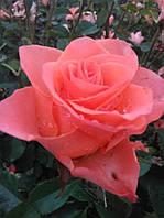 Роза чайно-гибридная Бэй (Вay)
