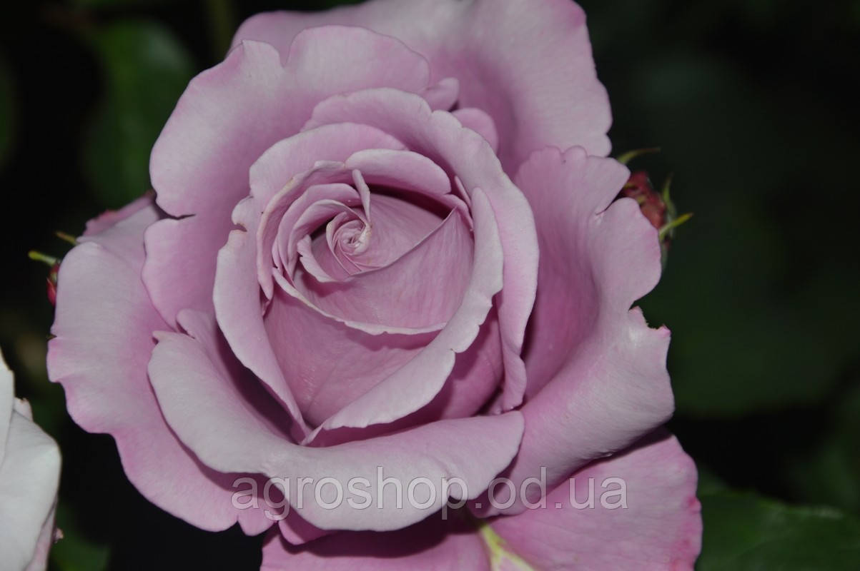 Роза чайно-гибридная Шарль де Голль (Charles De Gaulle)