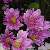 Хризантема кустовая Бакарди пинк