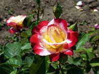 Роза чайно-гибридная Дабл Делайт (Double Delight )