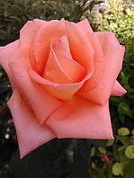 Роза чайно-гибридная Фольклор (Folklore)