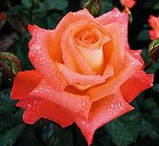 Роза чайно-гибридная Фольклор (Folklore), фото 2