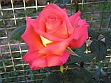 Роза чайно-гибридная Фольклор (Folklore), фото 3