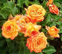 Роза бордюрная Апельсин
