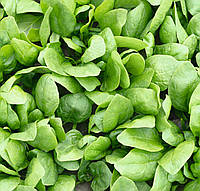 Семена шпината Рембрант Bejo 50 000 шт