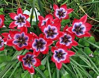 Тюльпан ботанический литл бьюти