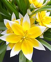 Тюльпан ботанический  dasystemon