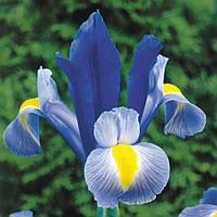 Ирис голандика Saphire Beauty