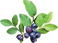 Дикая Черника (Blueberry Wild)
