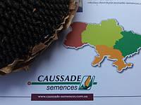 Подсолнечник от заразихи и засухи Коссад Семанс Шаркс КС, Дюрбан КС, Велком КС, Тоскана КС с высокими показателями урожайности.