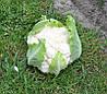 Семена капусты Клипер F1  2500 семян Clause