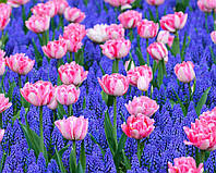Арт-набор Яблочный цвет (тюльпаны, мускари), фото 1