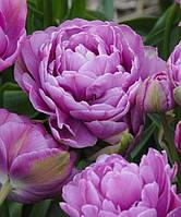 Тюльпан Lilac perfection 3 луковицы