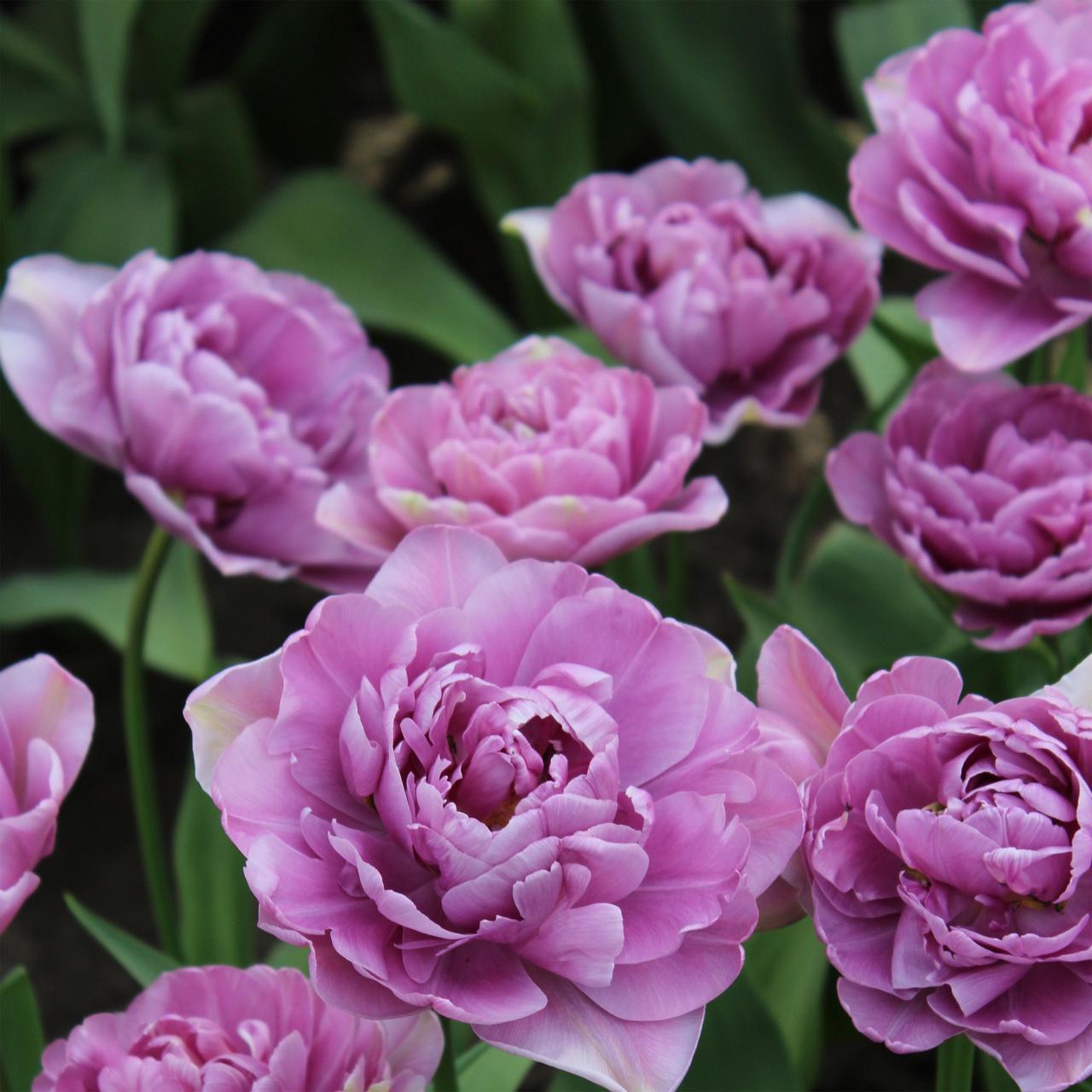 Тюльпан Lilac perfection махрові+многоцвет 10/11 3 шт