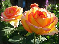 Роза чайно-гибридная Ambiance