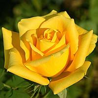 Роза чайно-гибридная Landora