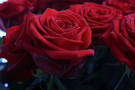 Роза чайно-гибридная Red Naomi