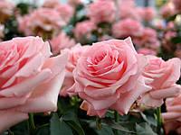 Роза чайно-гибридная Noblesse