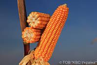 Семена кукурузы ЕМІЛІО