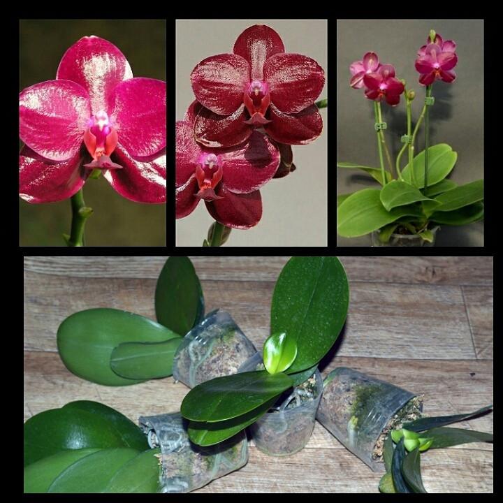 Взрослые орхидеи. Сорт Sogo Relex 'SOGO F1671'  - Интернет-магазин ЦветОК в Днепре