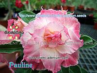 Адениум семена Pauline