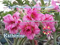 Адениум семена Kathrine