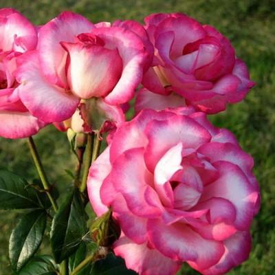 Роза плетистая Хендель