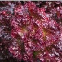 Семена салата Грит красный 30 шт.