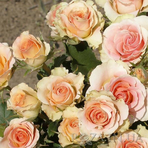 Роза бордюрна Ізіс
