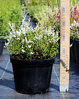 Саженцы и взрослые растения вереска, фото 1