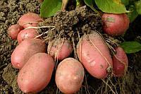 Картофель семенной засухоустойчивый Ароза
