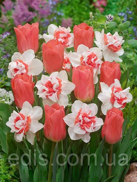 Набор луковиц тюльпанов и Нарциссов Персиковое чудо