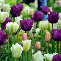 Арт-набор луковиц тюльпанов Ментол 10 луковиц